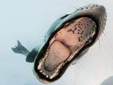 Leopard Seal Mouthing its Own Reflection in the Camera Port, Antarctica Photographic Print