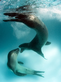 A Pair of Leopard Seals Interacting, Astrolabe Island, Antarctica Photographic Print