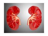 Cross-Section of Human Kidney Prints