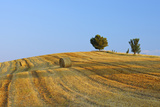 Harvested Wheat Field with Pine Tree, Summer. Photographic Print by Martin Ruegner
