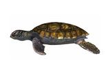 Green Sea Turtle Kunst
