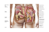 Anatomy of the Gluteal Muscles in the Human Buttocks Prints