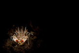 Spiny Tiger Shrimp Amongst Volcanic Sand, Bali Photographic Print