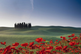 Cypresses and Red Poppies Photographic Print by Buena Vista Images