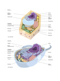 Comparative Illustration of Plant and Animal Cell Anatomy (With Labels) Kunstdrucke