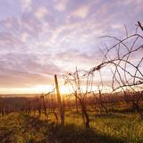 Sunrise Tuscany Vineyard Photographic Print by massimo colombo
