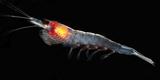 Antarctic Krill (Euphausia Superba), Southern Ocean, Antarctica Fotografisk tryk