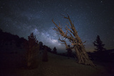 A Large Bristlecone Pine in the Patriarch Grove Bears Witness to the Rising Milky Way Photographic Print