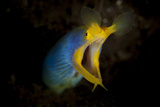 Blue Ribbon Eel, Head on View, Bali Photographic Print