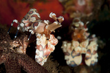 A Pair of Harlequin Shrimp with One Feeding Off a Starfish, Bali Photographic Print