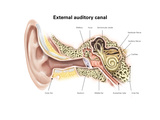 External Auditory Canal of Human Ear (With Labels) Poster