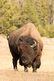 Bison Photographic Print by Corinna Stoeffl, Stoeffl Photography