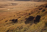 Sunrise on Bison (Bison Bison) Grazing on Hillside Photographic Print by Design Pics / David Ponton
