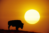 Plains Bison (Bison Bison), Digital Composite Photographic Print