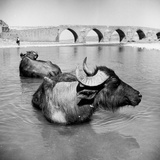 Water-Buffalo Photographic Print by George Pickow