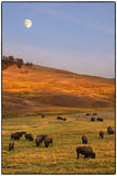 Bison Grazing on Hill at Hayden Valley Photographic Print by Sankar Raman