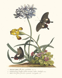 Polianthius, Oxalis and Iris Giclee Print by Georg Dionysius Ehret