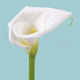 Fresh Lily II Giclee Print by Adam Brock