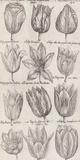 Tulip Cultivars Kunstdrucke von  The Vintage Collection