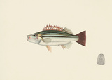 Fish Study in Green and Brown Premium Giclee Print by  Oriental School