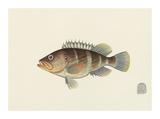 Fish Study in Brown and Orange Premium Giclee Print by  Oriental School