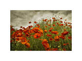 Bobbi's Poppies Giclee Print by David Winston
