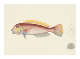 Fish Study in Red and Yellow Premium Giclee Print by  Oriental School