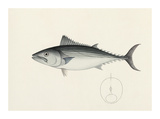 Fish Study in Blue and Grey Premium Giclee Print by  Oriental School
