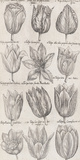 Tulip Cultivars Giclee Print by  The Vintage Collection