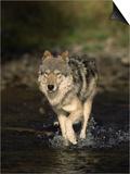 Limber Wolf Running Through River, Canis Lupus Art by D. Robert Franz