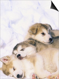 Alaskan Malamute Puppies in the Snow Posters by Lynn M. Stone
