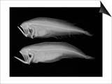 Bothid Flatfish Art by Sandra J. Raredon