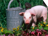 Domestic Piglet Beside Watering Can, USA Prints by Lynn M. Stone
