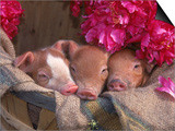 Piglets in Barrel with Flower Posters by Lynn M. Stone