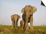 Indian Elephant Mother with 5-Day Baby and its Older Sibling, Controlled Conditions, Assam, India Print by T.j. Rich