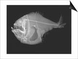 Tropical Hatchetfish Prints by Sandra J. Raredon