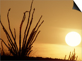 Desert Sunset with Ocotillo, CA Prints by D. Robert Franz