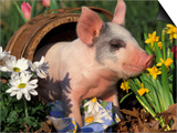 Domestic Piglet in Barrel, Mixed-Breed Print by Lynn M. Stone