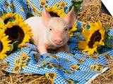 Domestic Piglet and Sunflowers, USA Posters by Lynn M. Stone