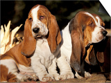 Two Bassett Hound Pups Posters by Lynn M. Stone