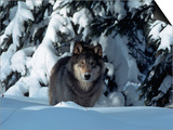 Gray Wolf Standing in Snow Covered Landscape Poster by Lynn M. Stone