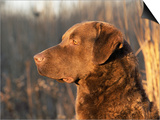Chesapeake Bay Retriever Dog, USA Print by Lynn M. Stone