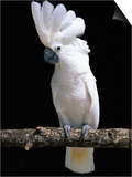 White or Umbrella Cockatoo Prints by Lynn M. Stone