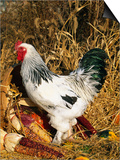 Male Brahma Breed Domestic Chicken with Vegetables, USA Art by Lynn M. Stone