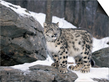 Juvenile Snow Leopard Posters by Lynn M. Stone