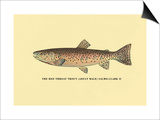 The Red Throat Trout Posters by H.h. Leonard