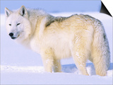 Arctic Wolf, Canis Lupus Arctos Print by Lynn M. Stone