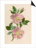 Pink Dog-Rose Prints by F. Edward Hulme