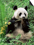 Giant Panda, Wolong Nr, Qionglai Mts, Sichuan, China Prints by Lynn M. Stone