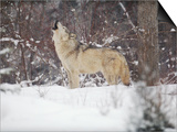 Portrait of Grey Wolf Howling in the Snow Prints by Lynn M. Stone